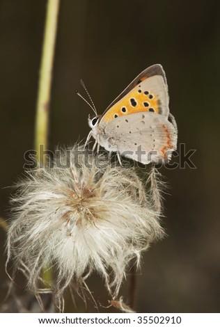 Small copper (Lycaena phlaeas) - stock photo