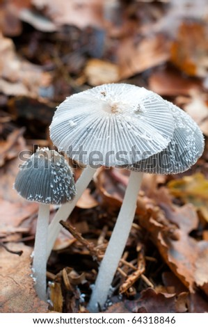 small coprinus mushroom - stock photo