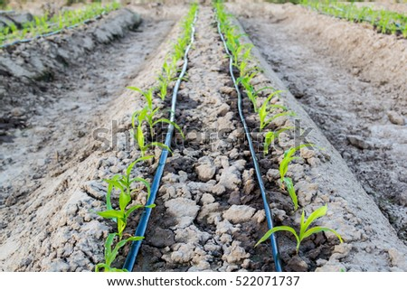small corn field with drip irrigation system in farm