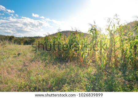 Small corn plantation lit by the sunlight in the fields near San Ignacio, Belize
