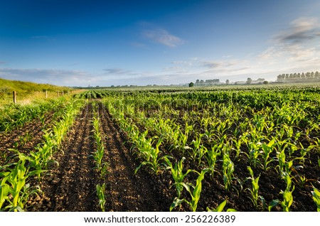 small corn plants at sunrise  - stock photo