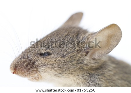 Small country mouse head isolated on a white background
