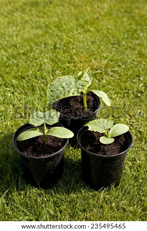 Small Cucumber Plants - stock photo