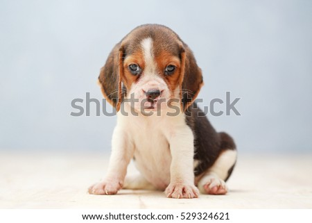 Small cute beagle puppy dog looking 529324609 shutterstock small cute beagle puppy dog looking up voltagebd Gallery