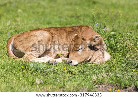 Small cute calf sleeping on the green meadow. Newborn baby cow. - stock photo