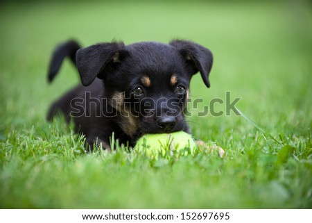 small cute dog on the grass with tennis ball - stock photo