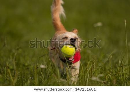 Small cute dog running with ball in his mouth - stock photo