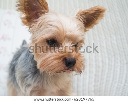 Small cute funny Yorkshire Terrier puppy dog stand on the rattan chair and looking for something.
