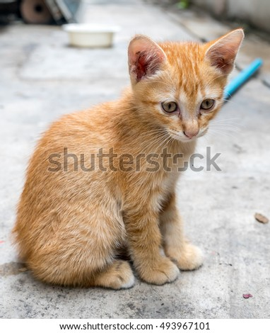Small cute golden brown kitten lay on outdoor concrete backyard floor under natural light, selective focus on its eye