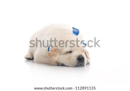 small cute golden retriever puppy sleep ,  on white background - stock photo