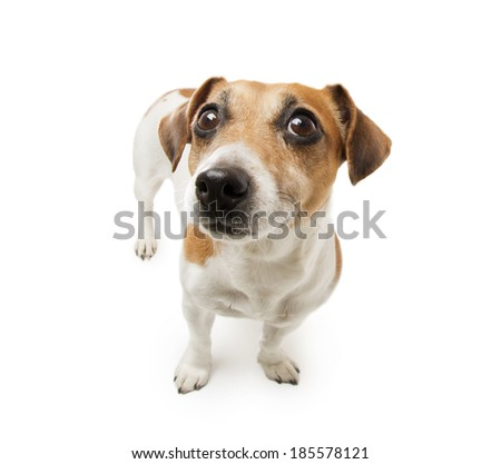 Small cute jack russell terrier dog. White background. Studio shot - stock photo