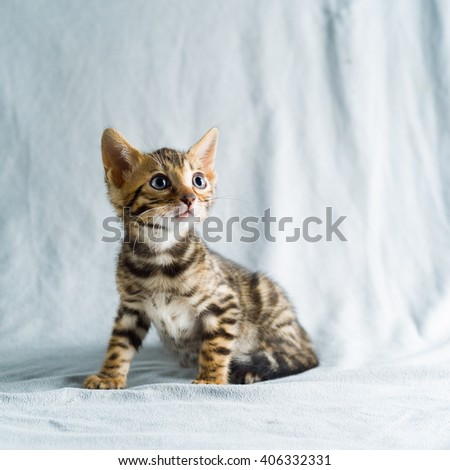 Small cute leopard cat kitten - stock photo