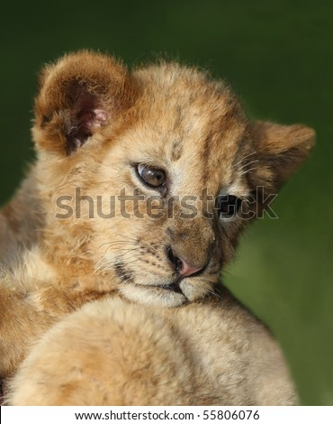 Small cute lion cub looking back with big eyes - stock photo