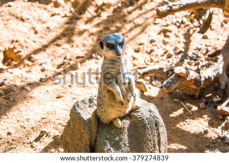 Small cute Meerkat (Surikate) in a zoo on Hawaii islands.  - stock photo