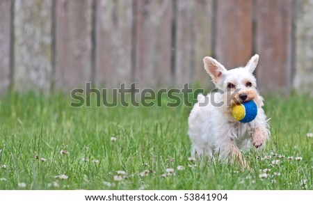 Small, cute white lap dog running with ears flapping and tennis ball in mouth - stock photo