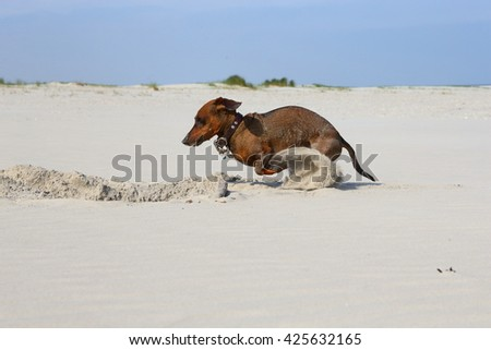 small dachshund digging in the sand/ digging/ small dachshund digging in the sand at the beach - stock photo