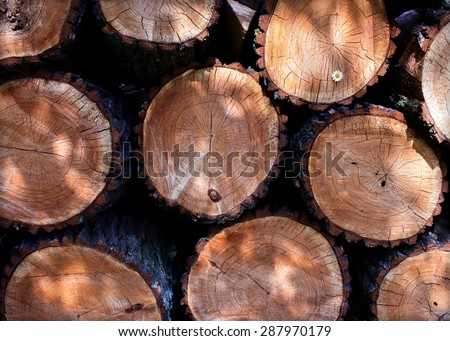 small daisies in a felled tree log cabins tecture - stock photo