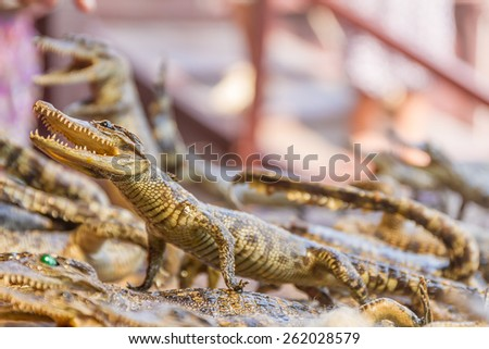 small dead crocodiles in souvenir shop, siem reap cambodia - stock photo