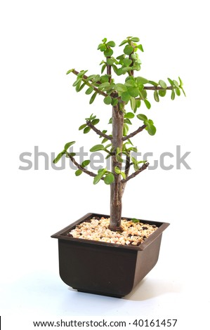Small decorative dwarfish tree in a flowerpot on a white background