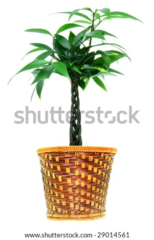 small decorative tree like plant on a white background - stock photo