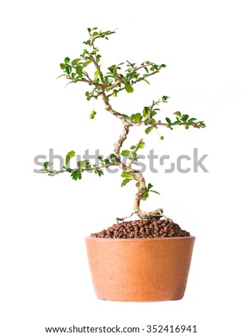 Small decorative tree on white background, Small bonsai tree in the clay pots