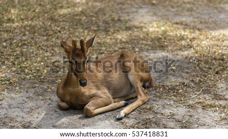 Small deer in Khao Kheow Open Zoo, Thailand