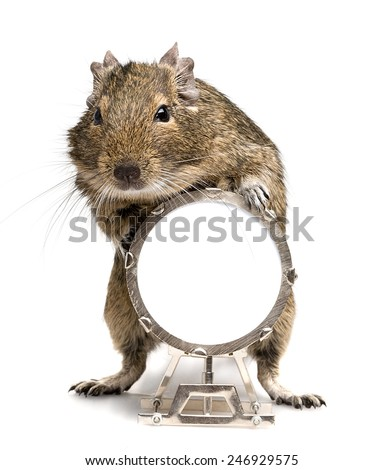 small degu rodent playing big drum full-length closeup isolated on white background - stock photo