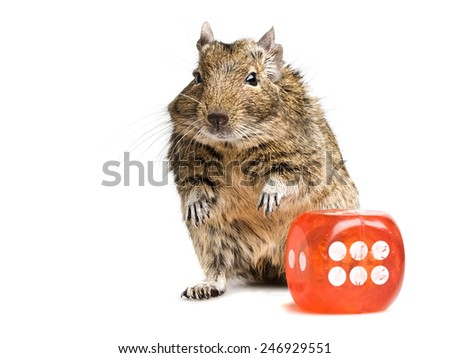 small degu rodent standing with big die cube full-length closeup isolated on white background - stock photo