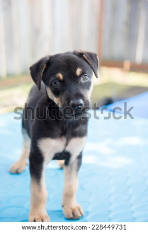 Small Doberman Mix Puppy Laying Down on Blue Plastic Pool Outside - stock photo
