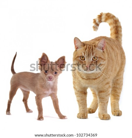 Small dog and big cat, isolated on white background - stock photo