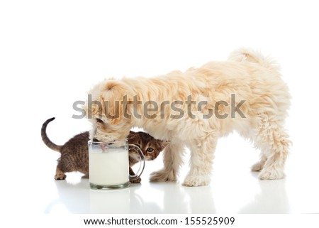 Small dog and kitten craving the same milk- isolated - stock photo