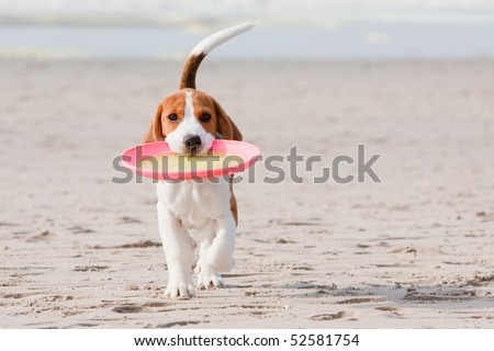Small dog, beagle puppy playing with frisbee on beach - stock photo
