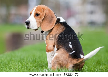 Small dog, beagle puppy sitting and looking sad on green grass - stock photo