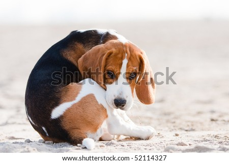Small dog, beagle puppy sitting and looking sad on sand