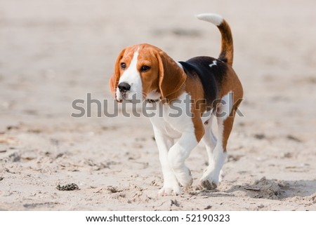 Small dog, beagle puppy walking on the beach - stock photo
