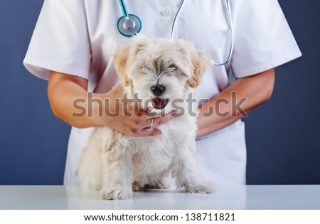 Small dog being examined at the veterinary doctor - sitting patiently - stock photo
