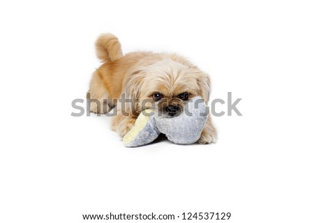 Small dog biting on toy pillow and looking at camera.