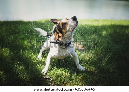 small dog breed Jack Russell Terrier shakes off water after bathing in the river on a summer day - stock photo