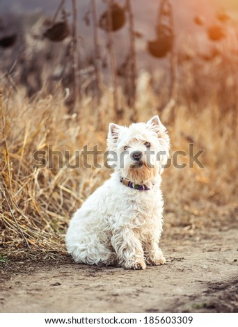 Small dog breeds White Terrier walks in the autumn - stock photo