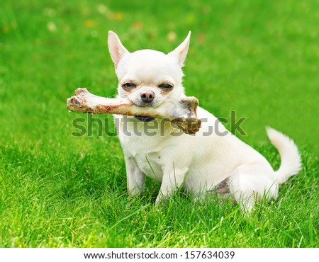 small dog holding big bone and sitting on the grass - stock photo