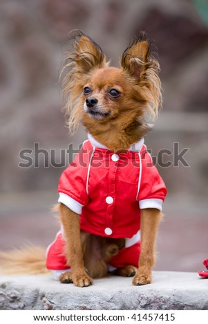 small dog in red jacket