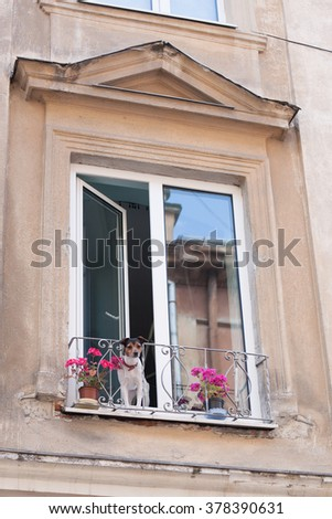 Small dog looking out the window - stock photo