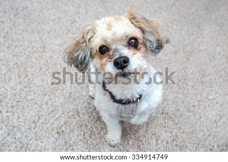Small dog looking up