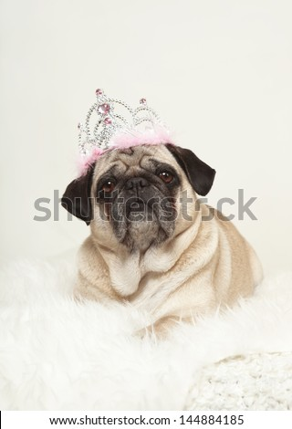 small dog lying on a white fur with a crown on his head, white background, looking at the camera - stock photo