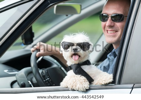 Small dog maltese in a car with open window and his owner in a background. Dog wears a special dog car harness to keep him safe when he travels. - stock photo