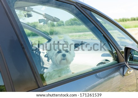 Small dog maltese sitting in a car with closed window - stock photo