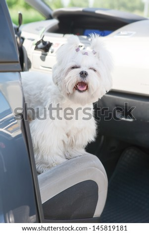 Small dog maltese sitting in a car with open doors - stock photo