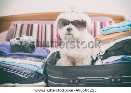 Small dog maltese sitting in the suitcase or bag wearing sunglasses and waiting for a trip