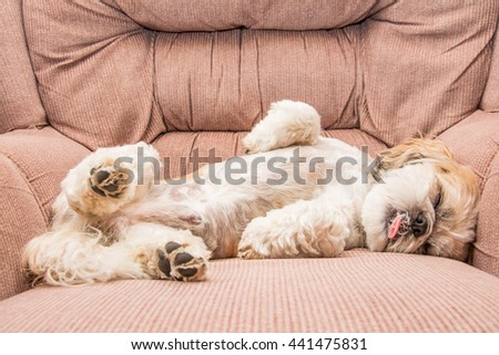 small dog on an vintage armchair. relax. shih tzu