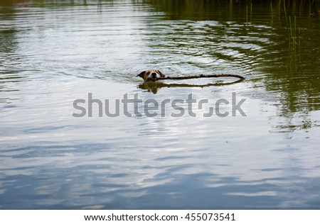 Small dog playing with huge stick in pond water